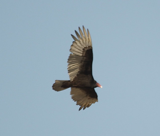 Turkey Vulture Riding Thermal Updrafts