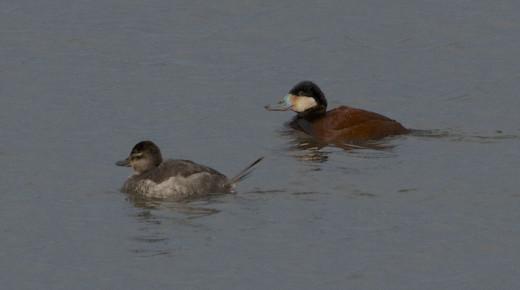 Ruddy Duck Pair
