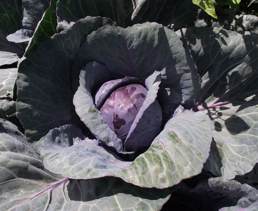 Cabbage has many great health benefits.