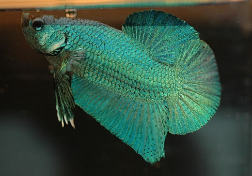 Betta fish can be picky eaters, but the right food can produce stunning results.