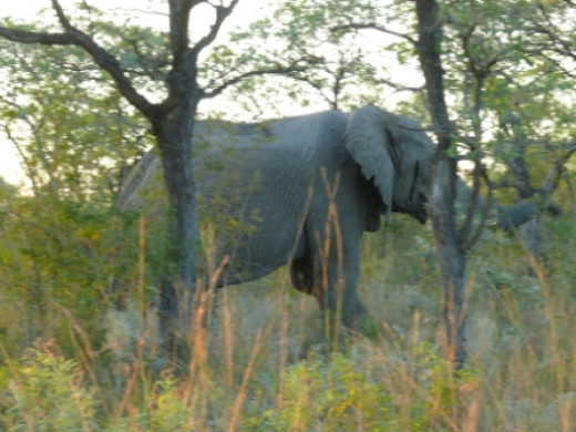 African Elephant near road