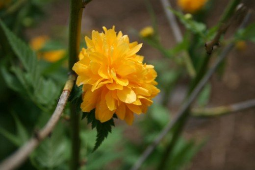 Kerria japonica is a spring blooming shrub that does well in shade.
