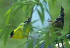 While I love the colors of the goldfinch, this picture has an annoying branch blocking the view.  Look for obstructions before setting up the shot.  Also, the bird's eyes aren't quite in focus.