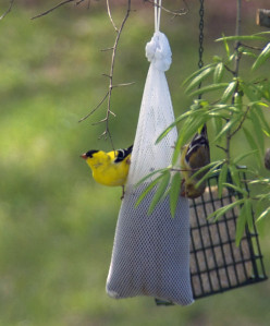 Goldfinches are great subjects for the vibrant colors rule.  The white seed sock, the suet feeder and the branch in the foreground really detract from the shot.  On the good side, the background is a nice, soft green which really complements him!