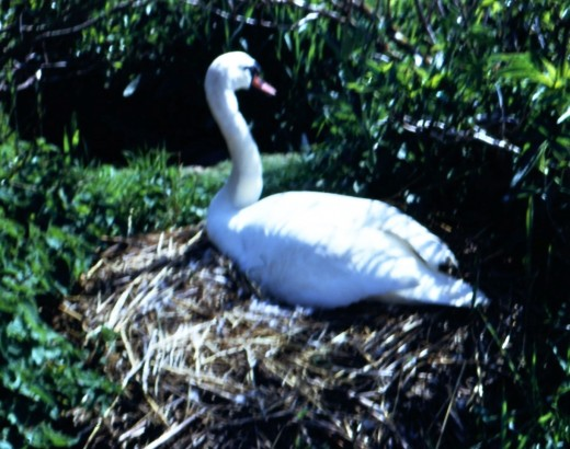 Nesting Time at The Swannery, Abbotsbury, England