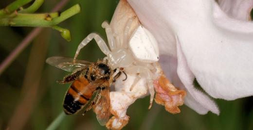 Thomisus spectabilis