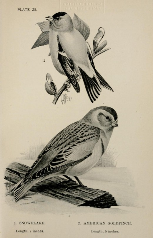 Drawn by Louis Agassiz Fuertes