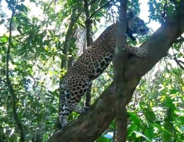 Jaguar climbing tree
