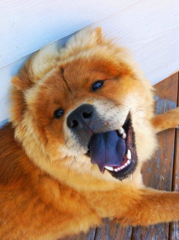 notice the blue tongue on the Chow Chow