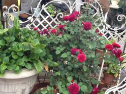 David Austin English Rose Prospero