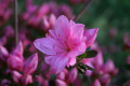 Azaleas for the Home Garden: Flowering Shrubs for Landscape Use