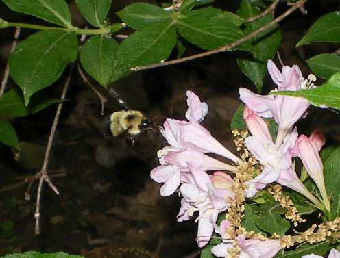 Bumblebees and Hummingbirds love nectar plants like Weigela.