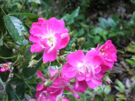 'Robin Hood' Climbing Rose