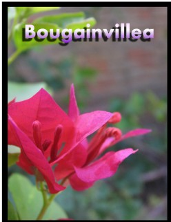 The Bold Brash and Beautiful Bougainvillea