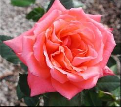 Lasting Peace Rose