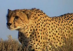 Facts about Cheetahs (Acinonyx jubatus) - Big Cat That Cannot Roar