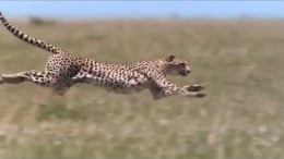 Cheetah is the fastest land animal on earth