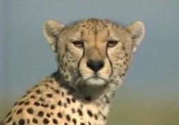 Cheetah tear lines