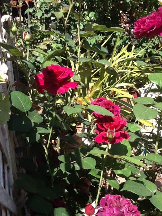 Very hard to capture the true purplish hue of the fading bloom of the Rosa Prospero