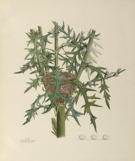 The image is of a nest taken in July 1880 from a large thistle beside a spring branch, near a public road.