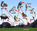 Agricultural Ecology: Food Web
