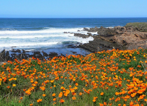 California Poppies by the Pacfic Ocean. The State Flower was named by Russian naturalists at Bodega Bay and Fort Ross, California.