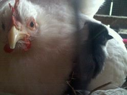 Natalie hatches her first chick; Pepper.