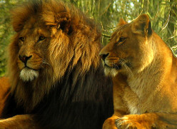 Photo Series-African Lions