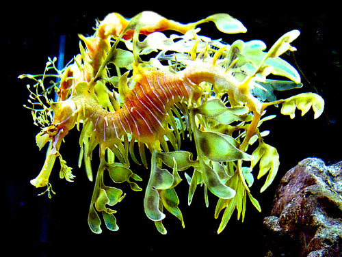 The leafy sea dragon has lobes of skin that look like seaweed to act as a camouflage.