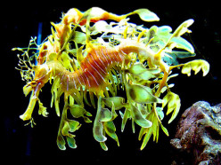 Have You Ever Seen the Amazing Leafy Sea Dragon?