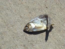 dead fish near river in wichita, ks