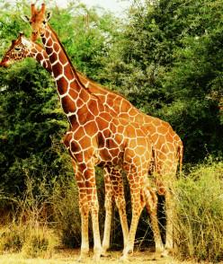 Photo Series-Africa's Giraffe