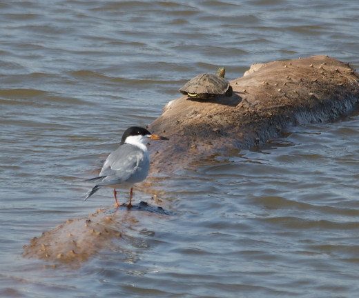 Forster's Tern and Red Eared Slider