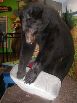 An exhibit at the Visiting Centre showing black bear looking for a worm under a rock.