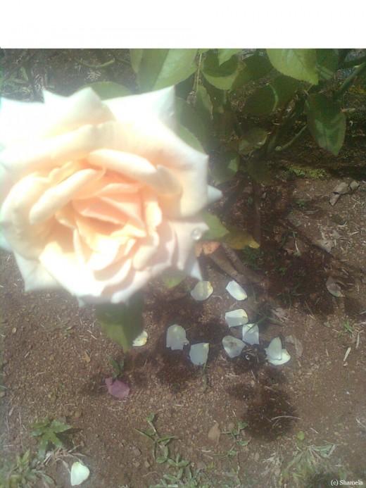 A cream colored rose with fallen petals.