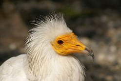 Endangered Birds: The Egyptian Vulture