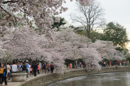 Cherry Blossoms ring the Tidal Basin