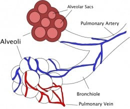 The alveoli of the lungs, showing both inside and outside the structure.