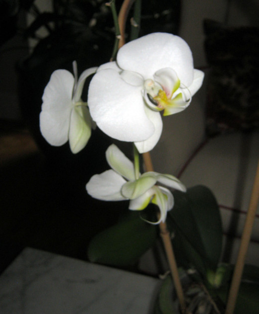 Moth Orchid or Phalaenopsis