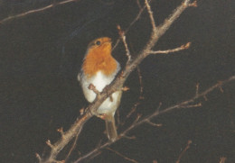 Robin at night