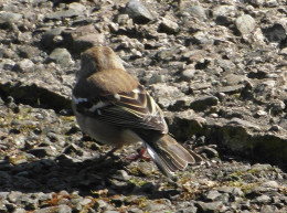 female chaffinch back