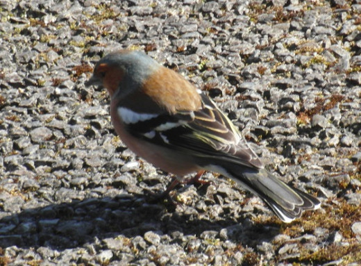 Male chaffinch back