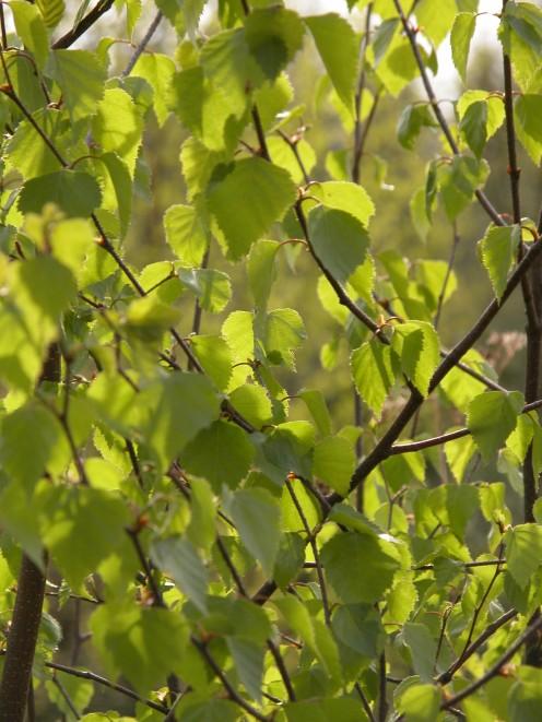 Spring Birch Leaves
