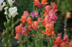 Choosing Annual Flowers for Masses and Drifts of Color