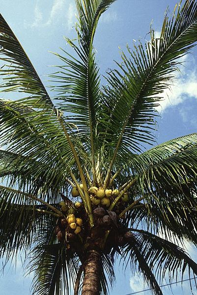 Coconut palm, source of coconut palm sugar