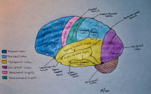 The occipital lobe of the brain is colored in purple in this diagram.