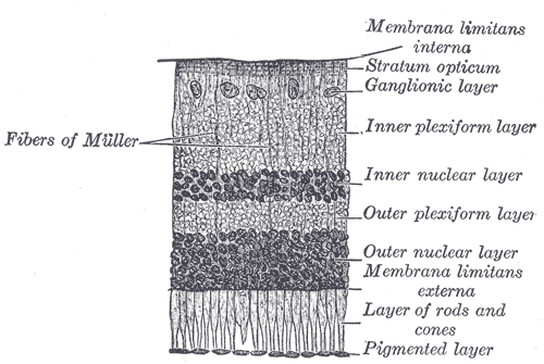 The layers of the retina