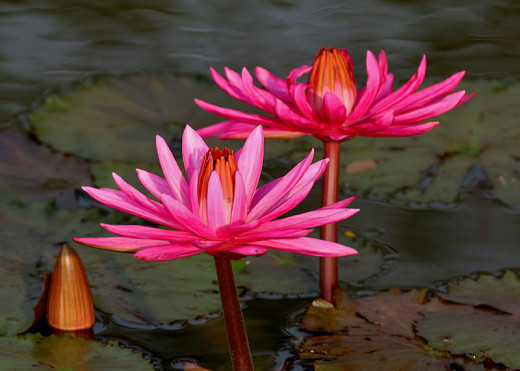 The beautiful Indian Red Water lily