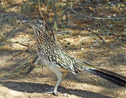Greater Roadrunner with lizard