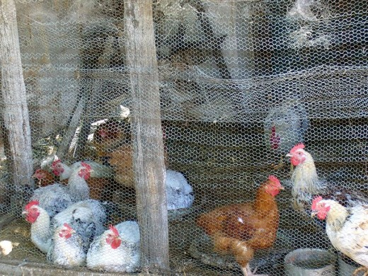 Some people are opting to raise their own chickens right in their back yard.